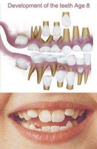 8 year old dental development