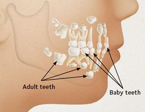 Adult teeth start to form under the baby teeth. After the baby teeth are shed, the adult teeth will erupt through the gums.