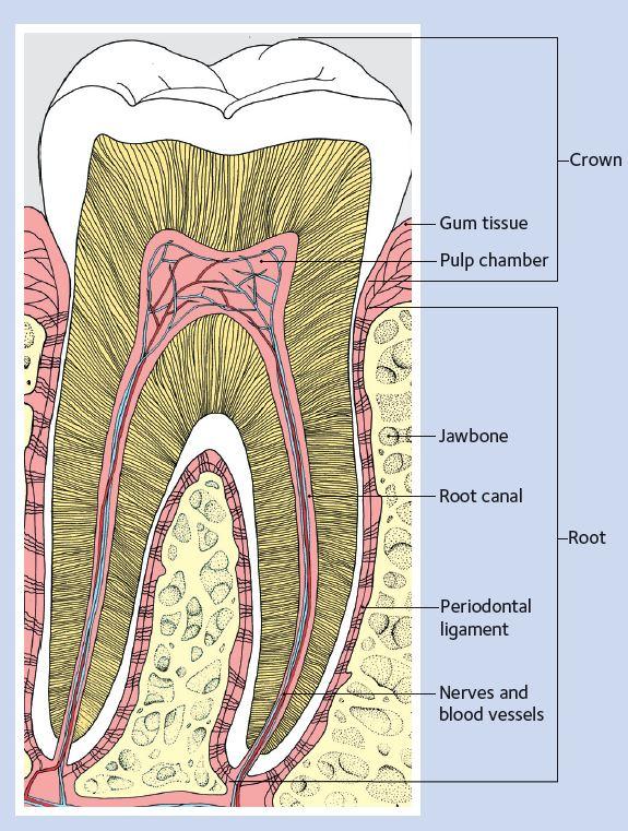 tooth decay seasons of smiles dental arthur norman medina dds